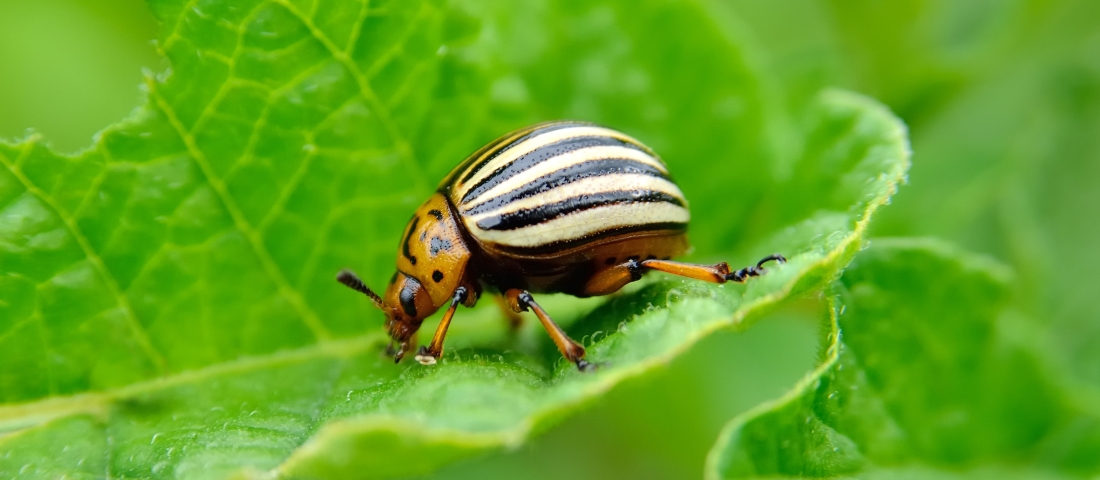colorado-beetle-eats-a-potato-leaves-young-royalty-free-image-542328690-1531259828.jpg